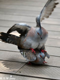 Pigeons and Doves (鳩鴿科)