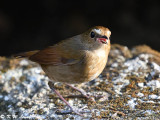 Lesser Shortwing (白喉短翅鶇)