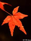 Maple leaf DSC_2393