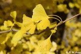 Ginkgo biloba leaves DSC_1734
