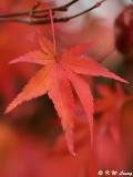 Maple leaf DSC_1792