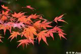 Maple leaves DSC_1833
