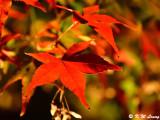 Maple leaves DSC_2451