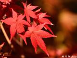 Maple leaves DSC_2311