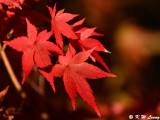 Maple leaves DSC_2315