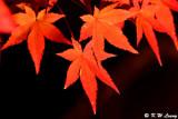 Maple leaves DSC_2314