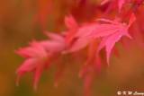 Maple leaf DSC_1832