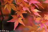 Maple leaves DSC_1846