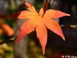 Maple leaf DSC_3317
