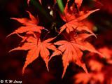 Maple leaves DSC_3504
