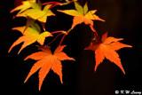 Maple leaves @ night DSC_3478