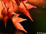 Maple leaves DSC_2324