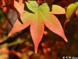 Maple leaf DSC_3316