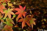 Maple leaves DSC_3314