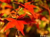 Maple leaves DSC_2450