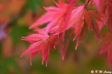 Maple leaves DSC_1831