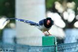 Blue Magpie DSC_5695