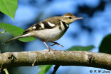 Wagtails (鶺鴒科)