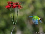 Blue-winged Leafbird (藍翅葉鵯)