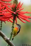 Mrs Gould's Sunbird (藍喉太陽鳥)
