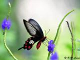 Pachliopta aristolochiae (紅珠鳳蝶)