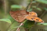 Junonia almana (美眼蛺蝶)