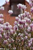 Magnolia DSC_1107