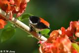 Scarlet-backed Flowerpecker (朱背啄花鳥)