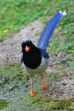 Blue Magpie DSC_0354