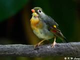 Red-billed Leiothrix (紅嘴相思鳥)