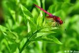 Dragonflies (蜻蜓)