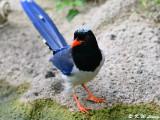 Blue Magpie DSC_0359