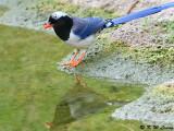 Blue Magpie DSC_0355