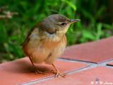Middendorff's Grasshopper Warbler (北蝗鶯)