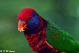 Parrots (鸚鵡)