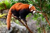 Red Panda DSC_2313