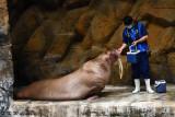 Feeding walrus DSC_2174