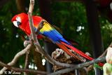 Scarlet Macaw DSC_2189