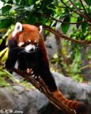 Red panda DSC_2310