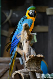 Blue and Yellow Macaw DSC_2203