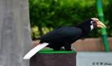Hornbill DSC_2303