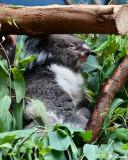 Koala DSC_2285