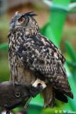 Owl DSC_2307