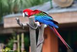 Scarlet Macaw DSC_2304