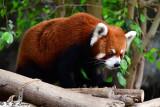 Red panda DSC_2315