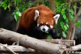 Red panda DSC_2316