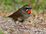 Siberian Rubythroat (紅喉歌鴝)