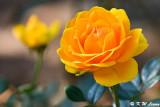 Rose DSC_5188