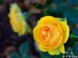Rose DSC_5222