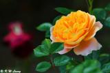 Rose DSC_5190